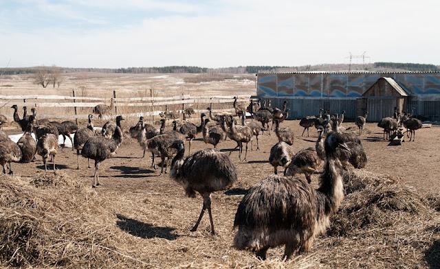 Страусиная ферма, страусы
