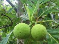 Obat Liver yang sangat manjur dengan menggunakan buah dan daun sukun