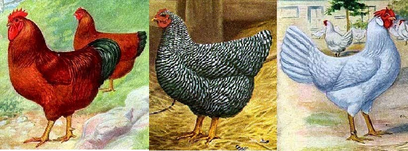Gambar Poultry Club Great Britain Includes Chickens