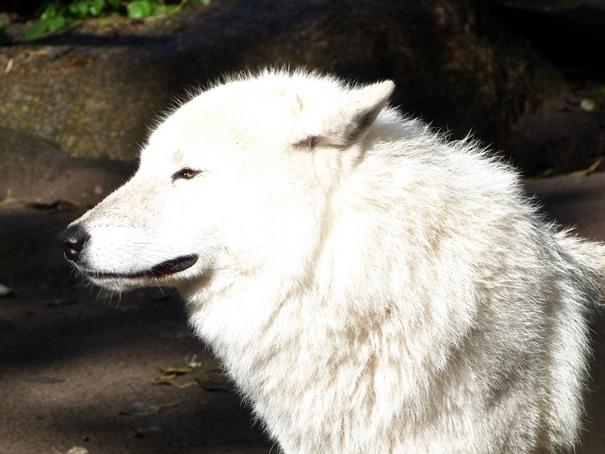 weisser-wolf-im-zoo-berlin