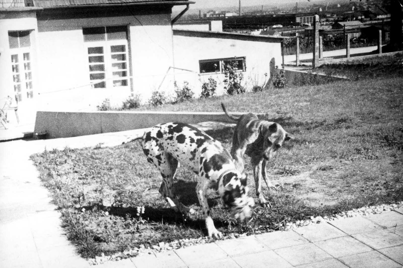 Commandant Amon Goeth's dog (Rolf) together with another dog. Arthur Kuhnreich, a Holocaust survivor: