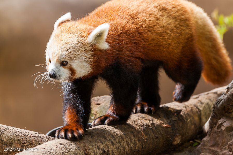 28. Red Panda by Chris Martin