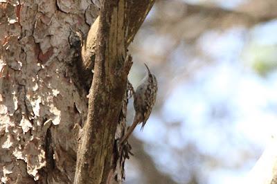 Agateador común (Certhia brachydactyla)