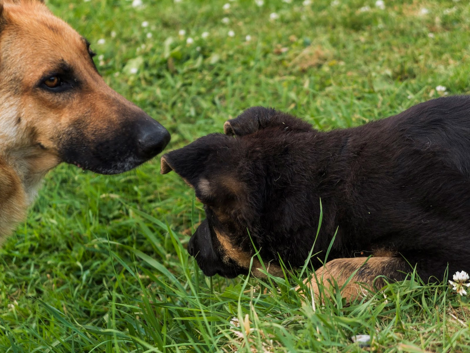 A 3 month old German Shepherd puppy Poppy sniffing grass with her mom Nala.