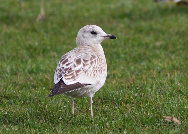 Juvenile, 1st-winter, 2CY