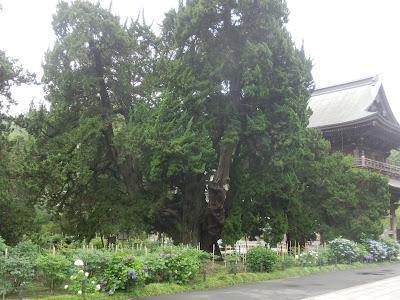 建長寺前栽列樹