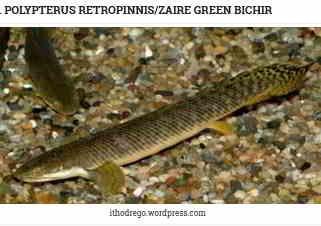 Polypterus retropinnis (Zaire Green Bichir)
