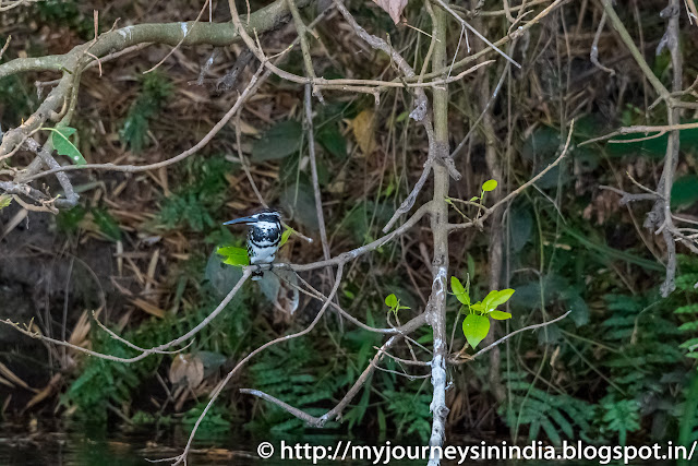 Ranganathittu Birds Pied King Fisher