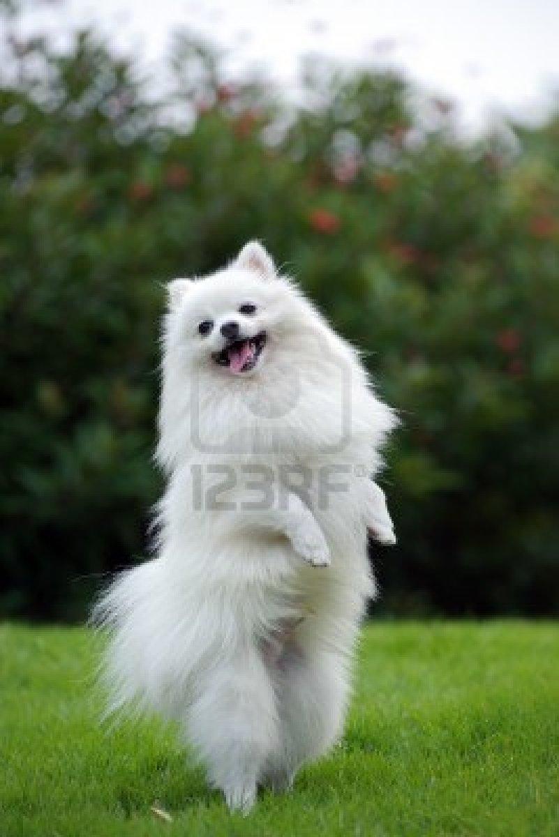 White Siberian Husky Puppies Cute Dogs: Pomeranian ...