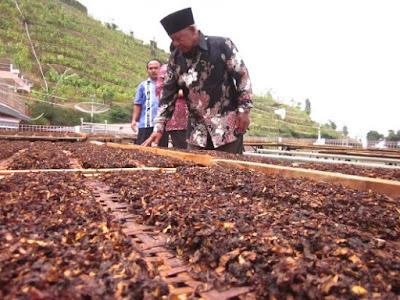 petani tembakau srinthil