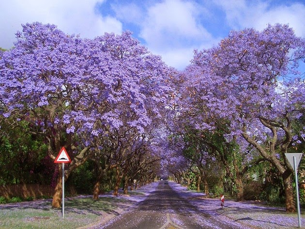 Jacarandas Walk in South Africa