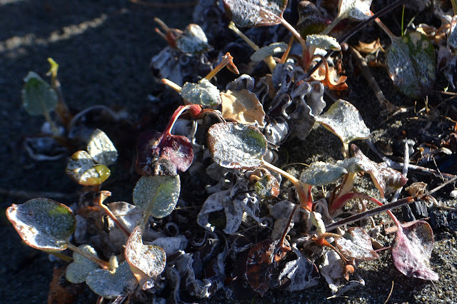 furry leaves with dew