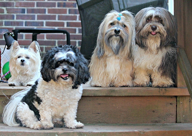 Rocco Havanese and pals