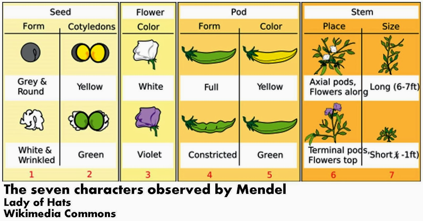 3 03 mendel Section 11-3 exploring mendelian genetics(pages 270-274) teks focus:3f history of biology and contributions of scientists 6d genetic variation in plants and animals this section describes mendel's principle of independent assortment bio_all in1_stgd_tese_ch11 8/7/03 5:12 pm page 275.