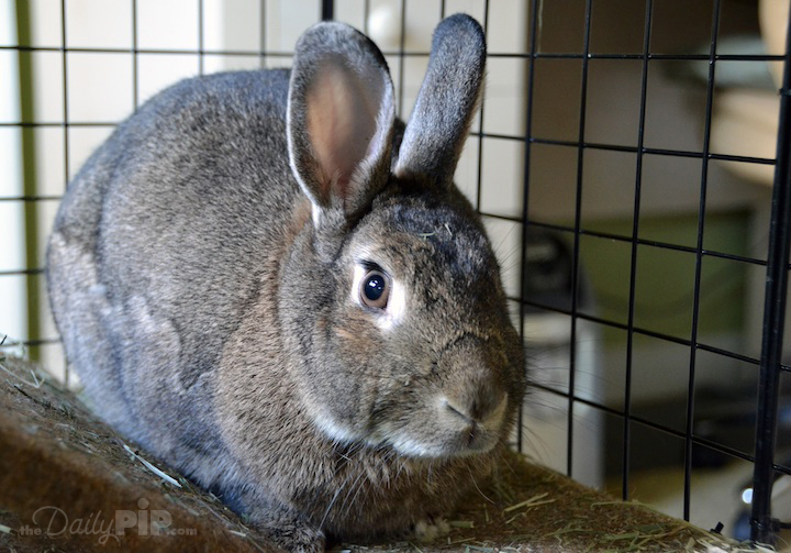 Caring for an adopted rabbit