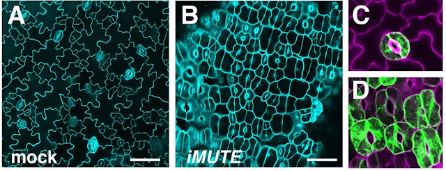 Stomata - the plant pores that give us life - arise thanks to a gene called MUTE
