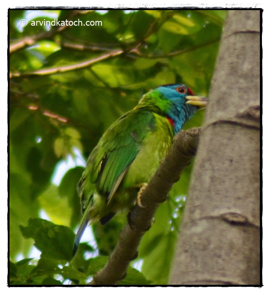 Barbet, Blue-throated Barbet, tree