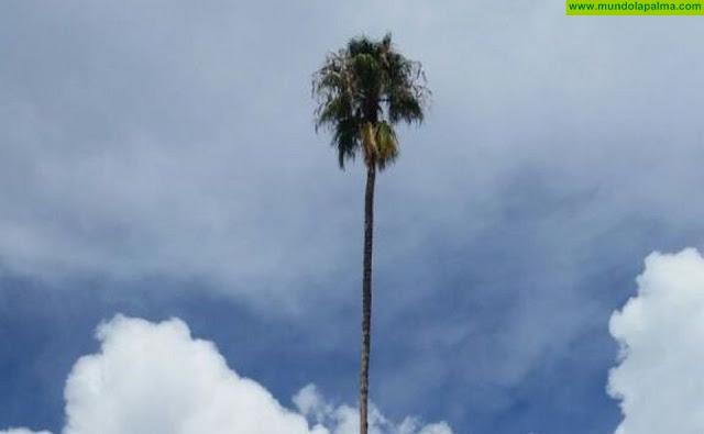 El Ayuntamiento de Los Llanos muestra su preocupación por el estado de la palmera del Mayantigo