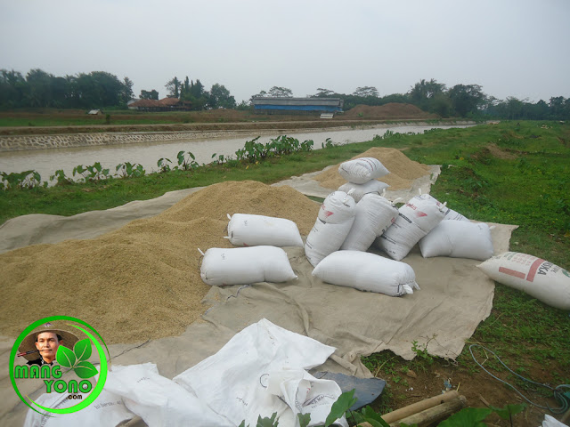Gabah padi ketan di pinggir irigasi Sungai ciasem, dusun Gardu setelah dipikul dari sawah admin.