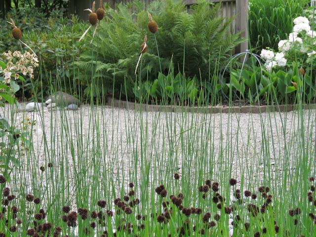 Paneter fra et sumpområde/dam i my white garden, trädgårdsrundan, Helsingborg