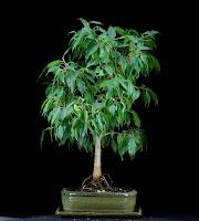 bonsai po przycinaniu