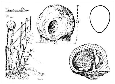 nido de Hornero común Furnarius rufus