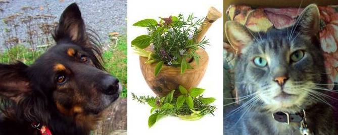 dog ear infection: NATURAL, HERBAL, HOMEOPATHIC EAR INFECTION