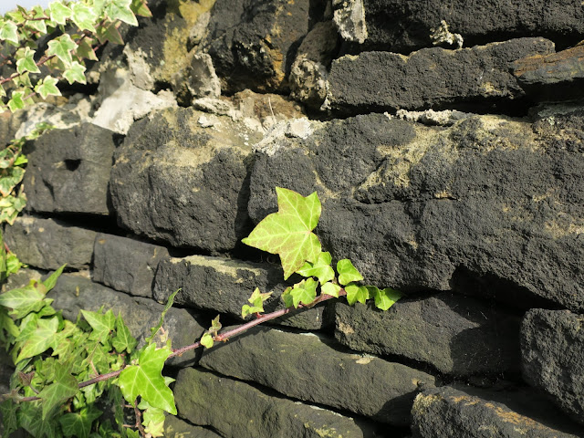 Ivy growing through black stone wall. October 19th 2017