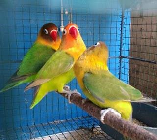 Sekolah Lovebird Cara Hemat Cetak Lovebird Ngekek Panjang