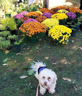 Enjoying colorful Mums at a dog friendly event during #Fall