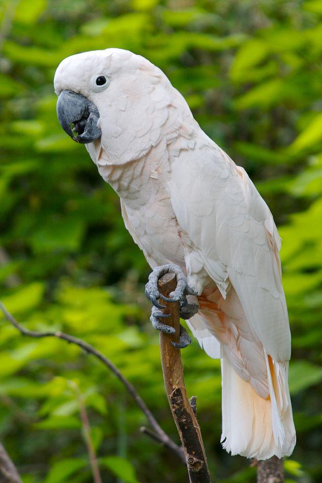 Sex of moluccan cockatoo