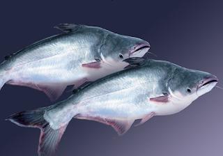 Khử mùi tanh của cá ba sa