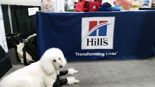 CarmaPoodale #standardpoodle in front of Hills table