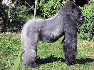 33 Fakta dan Informasi Menarik Tentang Gorila, Si Primata Terbesar