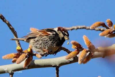 Gorrión moruno - Spanish sparrow - Passer hispaniolensis Macho alimentándose de los amentos del chopo.