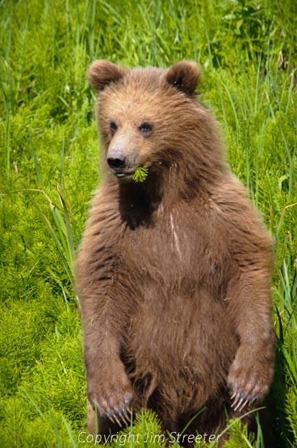 grizzly bear essays