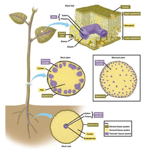 Stuktur Dan Fungsi Jaringan Penyusun Organ Tumbuhan Nihbaca Com