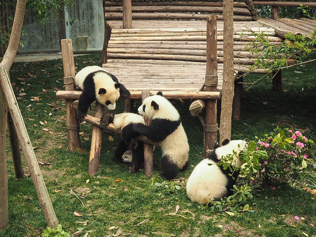 Baby pandas at Chengdu Panda Sanctuary, China