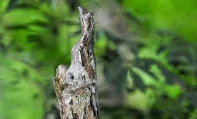 Kamuflase Great Potoo  (Burung Potoo)