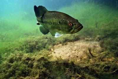 largemouth bass nest