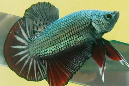 Fungsi daun ketapang untuk ikan cupang