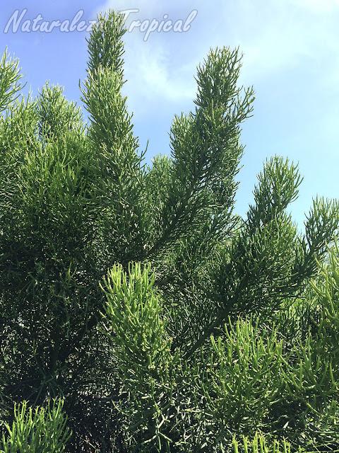 Porte arborícola de la planta suculenta llamada Palillos Chinos, Euphorbia tirucalli