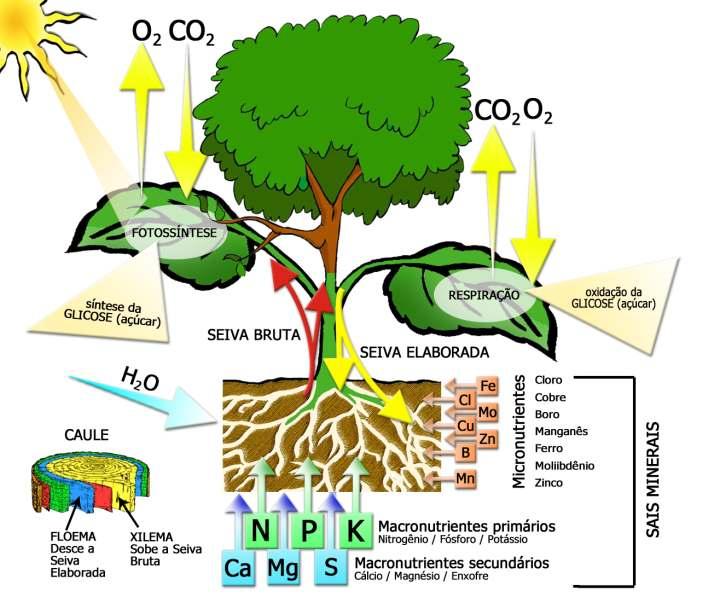 Fotossíntese | Características da Fotossíntese