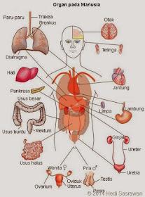 8 Organ Tubuh Manusia Beserta Fungsinya Referensi Online Ku