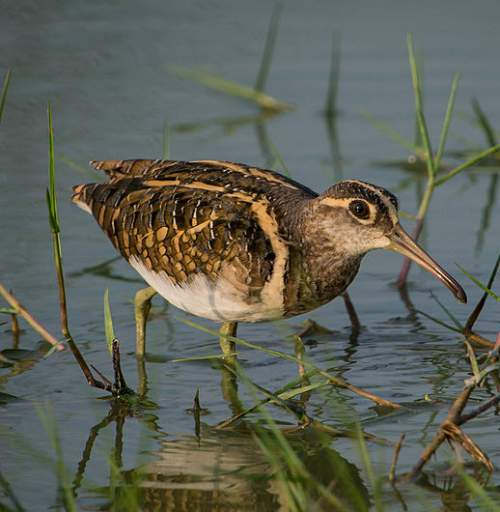 Birds of India - Photo of Greater painted-snipe - Rostratula benghalensis