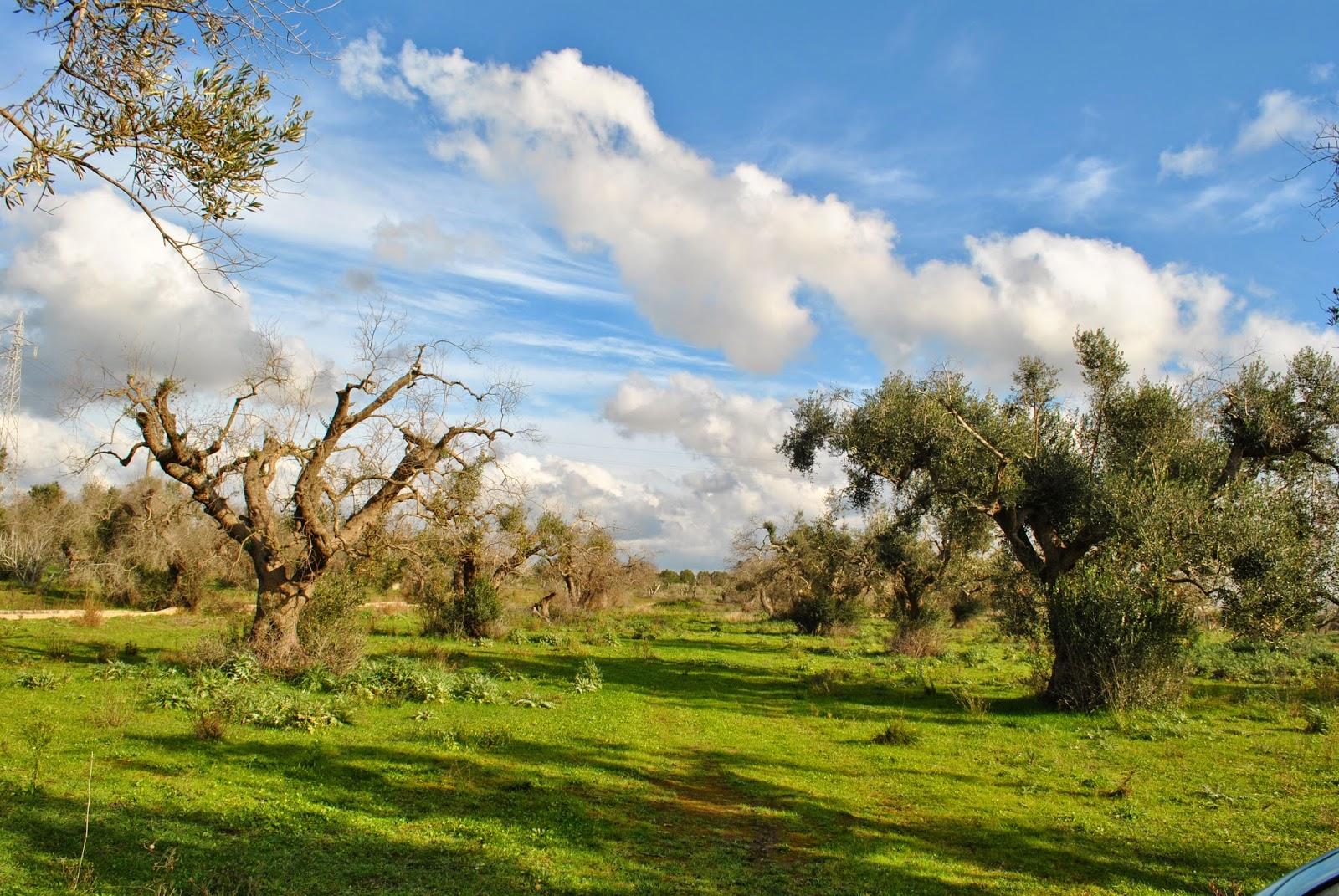 Calendario Trattamenti Olivo Puglia.Spazi Popolari Cura Dell Olivo