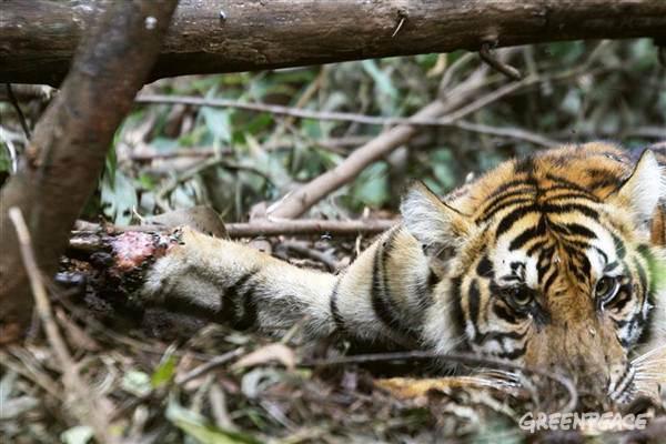 http://loverlem.blogspot.com/2017/10/legenda-harimau-sumatera-di-indonesia.html