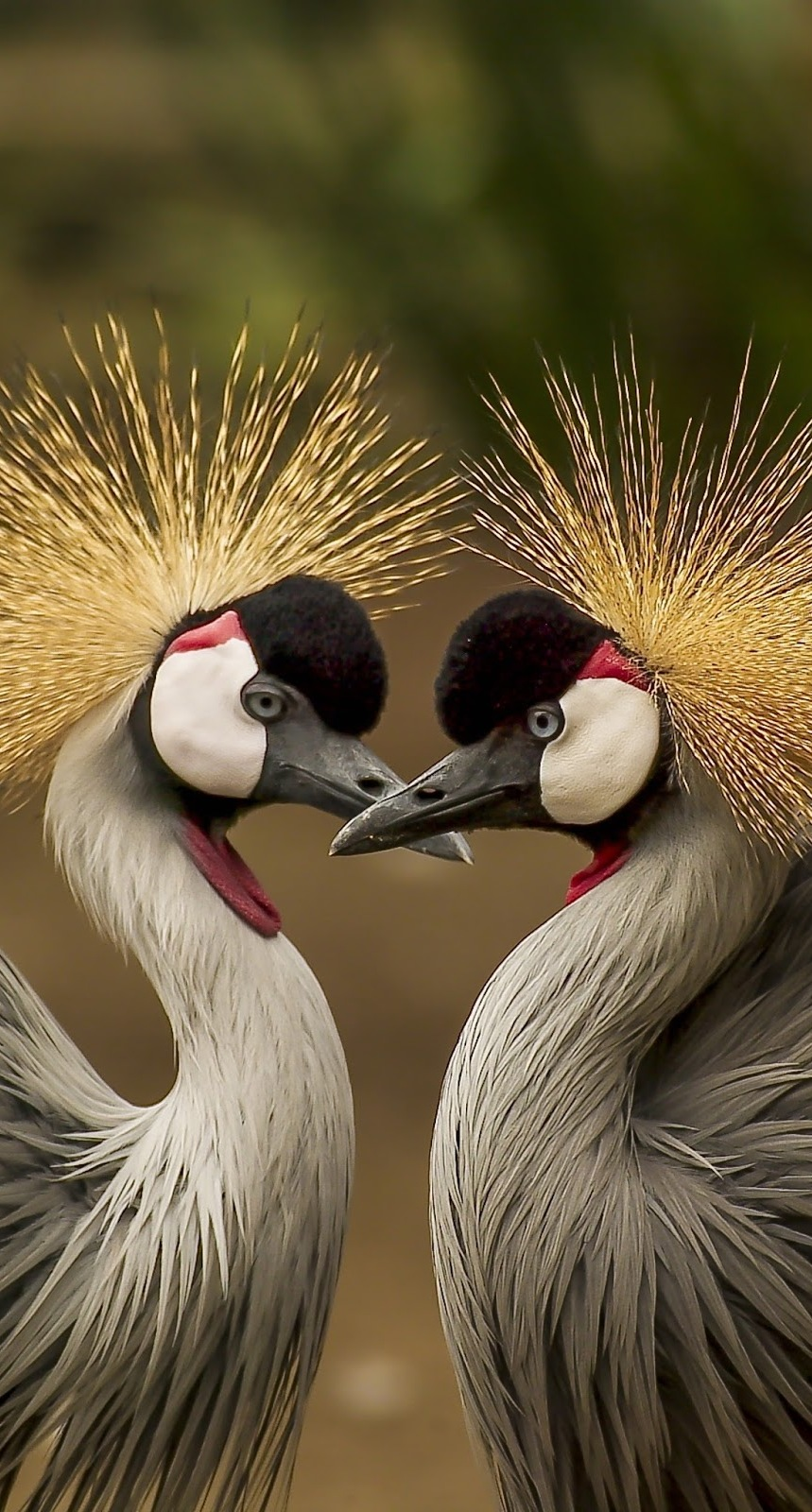 Picture of crested crowned crane mates.