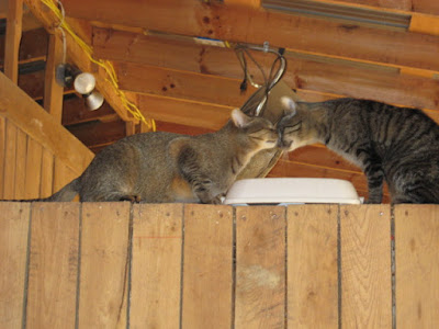 Two Cats greet each other in a barn (www.BarnCatBuddies.org)