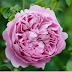Hoa hồng bụi Charles Rennie Mackintosh